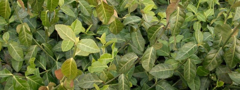 Bodendecker-Pflanzen