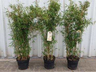 Bambus Fargesia murielae Deep Forest® , 100-120 cm groß