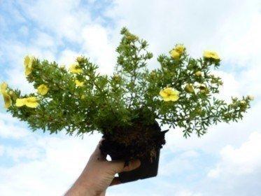 Gelber Fünffingerstrauch, Potentilla fruticosa Kobold, 15-30cm