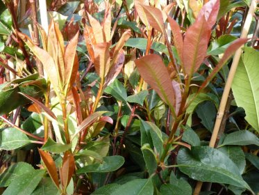 Rote Glanzmispel (Photinia Red Robin) im 7,5L Container, 100-125 cm