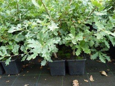 Stieleiche, Quercus Robur, 50-80 cm groß im 1L Container