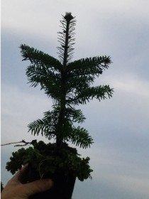 Abies nordmanniana  - Nordmanntanne, 5 jährig, Jungpflanze im Topf