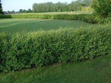 Buxus sempervirens/Buchsbaum, Containerpflanze