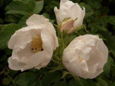 Weiße Heckenrose (Rosa rugosa alba) im 1L Container, 30-40 cm groß