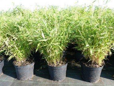 Bambus Fargesia murielae Super-Jumbo im 3L Container, 60-80 cm groß