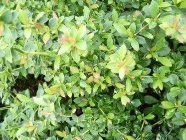 Buxusblättrige Berberitze (Berberis buxifolia Nana) 15-20 cm, im 1L Container