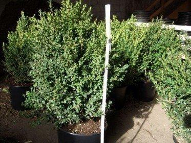 Buchsbaum (Buxus sempervirens)  im Container, 50-60cm
