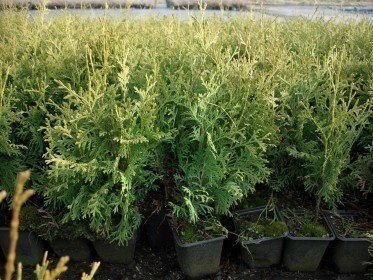 Thuja occidentalis Columna (Lebensbaum), im P9 (0,5L) Topf, 30-40cm groß