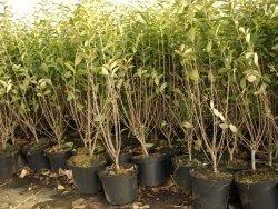 Liguster (Ligustrum vulgare Atrovirens) im Container, 40-60 cm im 1L Topf