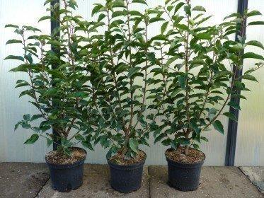 Portugiesischer Kirschlorbeer (Prunus lusitanica Angustifolia) im Container, 60-80cm