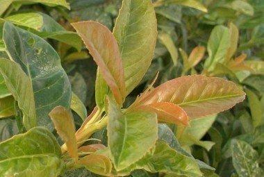 Kirschlorbeer Etna (Prunus lauroc. Etna)  im Container, 60-80cm