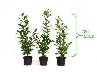 Kirschlorbeer Caucasica (Prunus laurocerasus) im 7,5L Container, 125-150cm