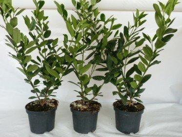Kirschlorbeer Diana (Prunus laurocerasus Diana), 40-60cm, Container