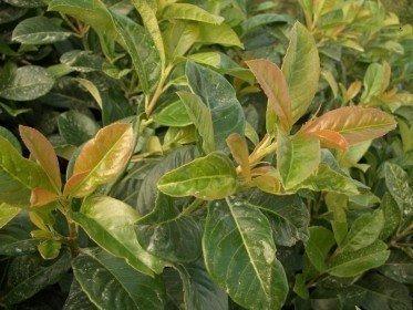 Prunus laurocerasus Etna/Kirschlorbeer Etna im Container