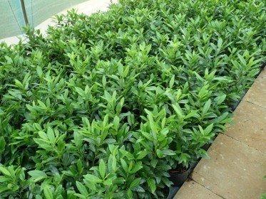 Prunus laurocerasus Herbergii/Kirschlorbeer Herbergii