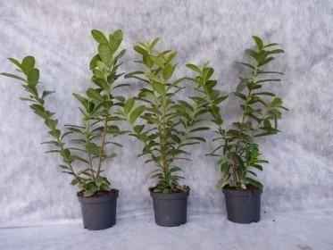 kirschlorbeer novita pflanzen aus der baumschule. Black Bedroom Furniture Sets. Home Design Ideas