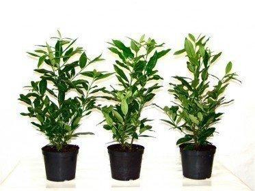 Kirschlorbeer Herbergii (Prunus laurocerasus) im Container, 40-60cm