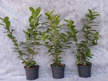 Kirschlorbeer Novita (Prunus laurocerasus)  im Container, 60-80cm