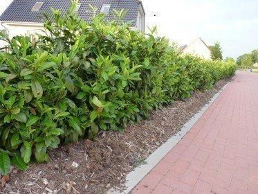 Prunus laurocerasus (Kirschlorbeer) Rotundifolia im Container 40-60 cm