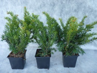 Taxus baccata Repandens, 20-30 cm groß, im 1L Container
