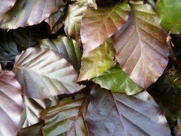 Blutbuche, Fagus sylvatica purpurea im Container, 100-125 cm