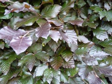 Blutbuche, Fagus sylvatica purpurea, Freilandware