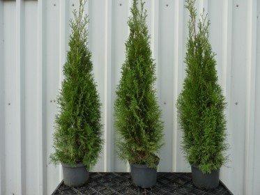 Thuja smaragd Lebensbaum (Thuja occ. smaragd)  im Container, 100-125cm