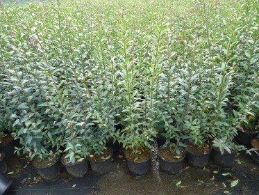 Liguster (Ligustrum vulgare Atrovirens) im Container, 60-100cm