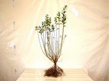Liguster (Ligustrum vulgare Atrovirens) wurzelnackt, 80-100cm