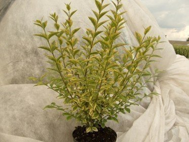 Goldliguster Ovalifolium Aureum, 60-100 cm im 3L Container