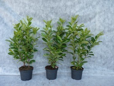 Prunus laurocerasus (Kirschlorbeer) Rotundifolia im Container,80-100 cm