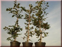 Rotbuche (Fagus sylvatica) im Container, bis 175 cm groß