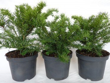 Taxus baccata Repandens, 30-40 cm groß, im 3L Container