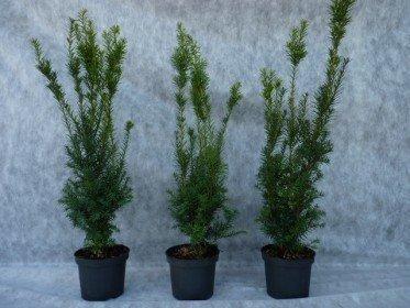 Taxus media hillii (männliche Bechereibe), 50-70 cm im C3 Topf