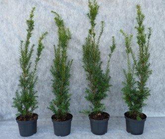 Taxus media hillii (männliche Bechereibe), 70-90 cm im C3 Topf