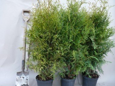 Thuja occidentalis - Lebensbaum brabant im Container