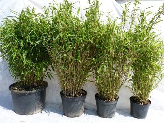 Hecken Aus Bambus Bambus Fargesia Murielae Bambus Gunstig Und