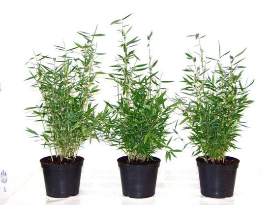 Hecken Aus Bambus Bambus Fargesia Murielae Direkt Vom Erzeuger Kaufen