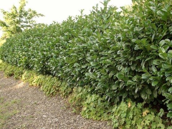 Prunus Laurocerasus Etna Kirschlorbeer Im Container