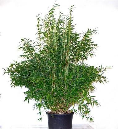 Bambus Fargesia murielae Super Jumbo/Bambus im Container, 120-140cm groß