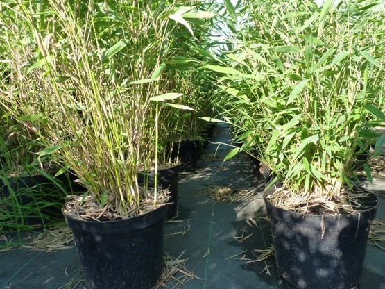 Bambus Fargesia murielae Superjumbo im 5L Container, 80-100 cm groß