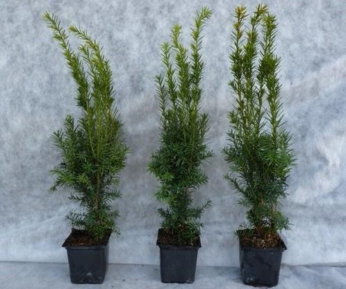 Taxus media hillii (männliche Bechereibe), 30-40 cm im C1 Topf