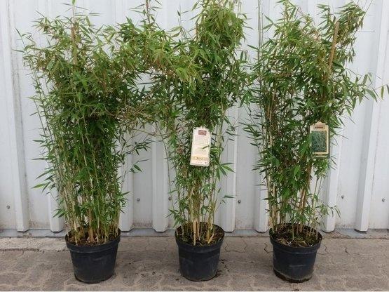 Bambus Fargesia murielae 'Deep Forest'® , 100-120 cm groß