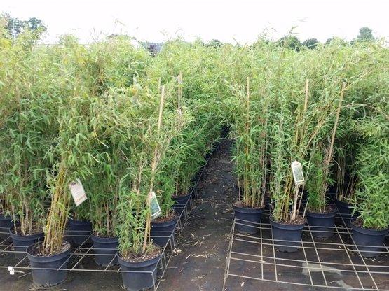 Bambus Fargesia murielae 'Deep Forest'® im Container, 120-140 cm groß