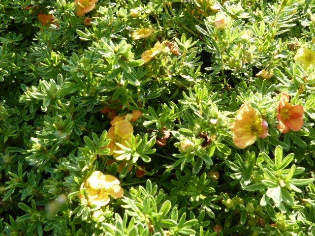 Fünffingerstrauch rot-orange, Potentilla fruticosa 'Red Ace' 20-30cm, im 1L Topf