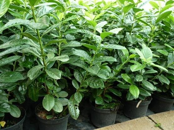 100x Anisogonium esculentum frisch Samen Gemüse Aroma Garten Zimmer Pflanze B669