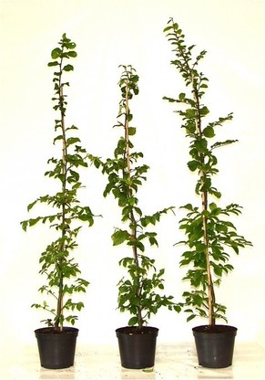 Hainbuche, Weißbuche (Carpinus betulus) im Container, 125-150cm