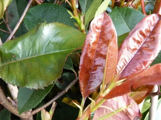 Rote Glanzmispel (Photinia Red Robin) im 3L Container, 60-100 cm