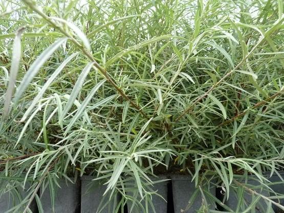 Salix rosmarinifolia (Rosmarinweide), 50-80 cm groß im 1L Container