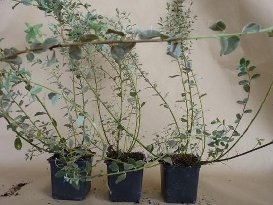 Salix repens argentea (Silber-Kriechweide), 50-80 cm groß im 1L Container